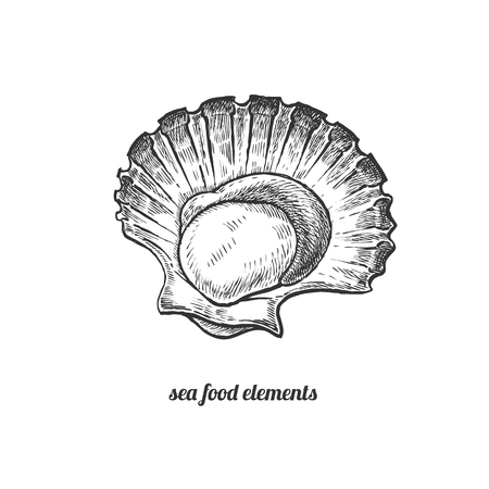 scallops: Scallops. Seafood. Vector illustration. Isolated image on white background. Vintage style. Hand drawn seafood image.
