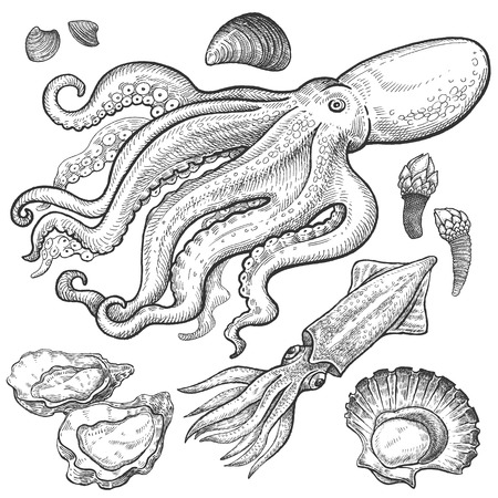 scallops: Seafood. Octopus, squid, oysters, scallops, shellfish, mussels, barnacles. Hand drawn seafood set. Vector illustration. Isolated seafood on white background. Vintage style.