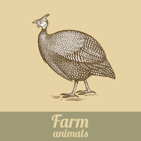 fowl: Bird guinea fowl. Series vector illustration of farm animals. Style vintage engraving.