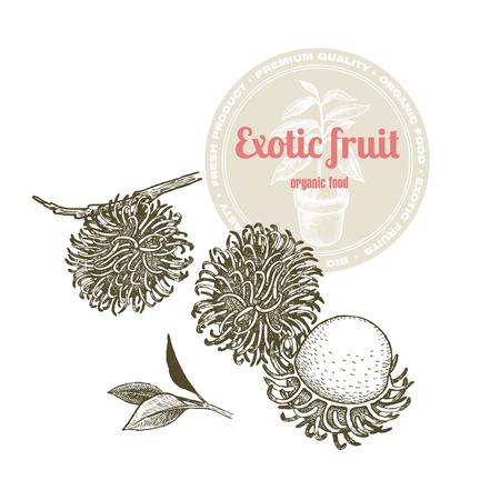 Vector image of exotic fruit rambutan isolated on white background. Illustration vintage style engraving. White and black. Illustration