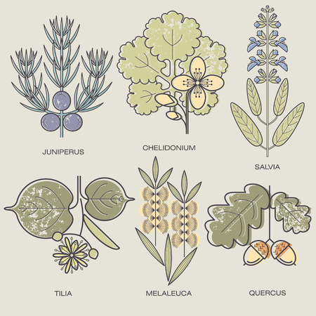 linden tree: Medicinal herbs Juniper branch, celandine, sage, linden flower, tea tree, oak fruit. Vector illustration stylized plant icons.