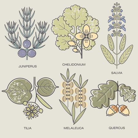tea tree: Medicinal herbs Juniper branch, celandine, sage, linden flower, tea tree, oak fruit. Vector illustration stylized plant icons.