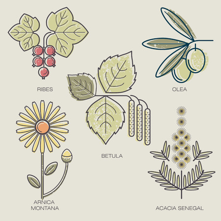 arnica: Medicinal herbs berries red currants, fruit of the olive tree, birch leaves, arnica flower, acacia branch. Vector illustration stylized plant icons.