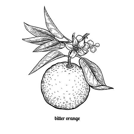 rama de árbol con frutos de naranja amarga y flores. Ilustración del vector aislado en el fondo blanco. estilo de grabado de la vendimia Ilustración de vector