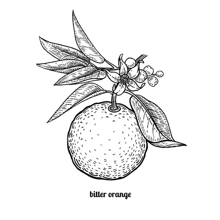 Tree branch with bitter orange fruits and flowers. Vector illustration isolated on white background. Vintage engraving style