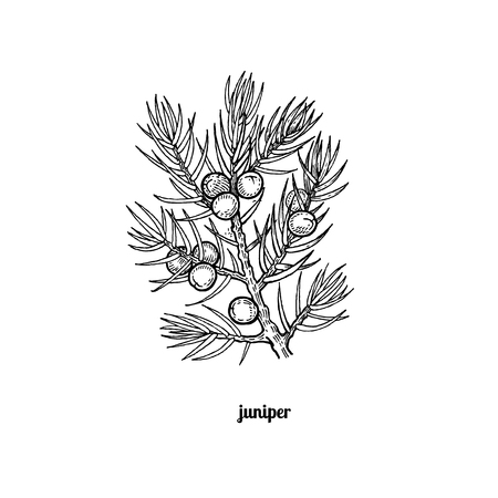 Tree branch with juniper berries. Vector illustration isolated on white background. Vintage engraving style.