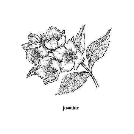 rama de un árbol con flores de jazmín. Ilustración del vector aislado en el fondo blanco. estilo de grabado de la vendimia. Ilustración de vector