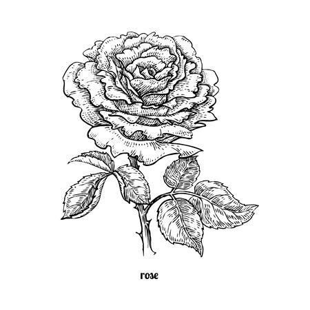 Flower rose. Vector illustration isolated on white background. Vintage engraving style.