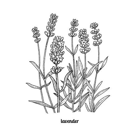 花ラベンダー。ベクター グラフィックは、白い背景で隔離。ビンテージ彫刻スタイル。