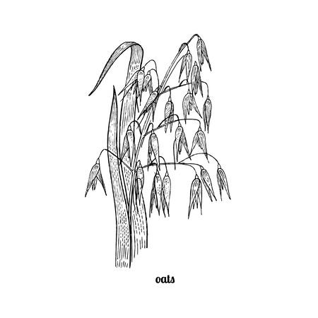 herbe d'avoine. Vector illustration isolé sur fond blanc. style de gravure ancienne.