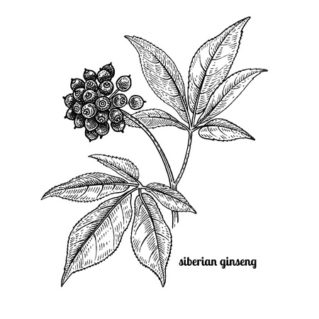 Siberian ginseng. Medical plant. Vector illustration isolated on white background. Vintage engraving style. Stock Illustratie