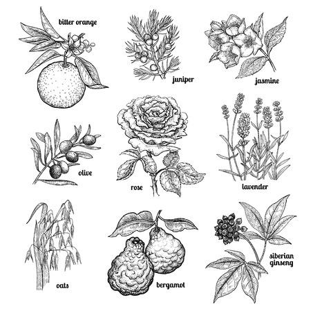 Jazmín, flor color de rosa, lavanda, enebro, bergamota, la avena, la rama de un árbol de oliva, frutas de color naranja, el ginseng siberiano. plantas previstas para la cosmética, la medicina, la cocina. Ilustración del vector. estilo de grabado de la vendimia. Ilustración de vector