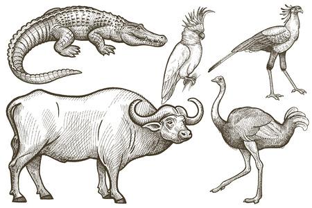 Animaux africains fixés. Buffalo, Crocodile, autruche, Secrétaire oiseau, cacatoès. Illustration Vecteur Art. Style de gravure ancienne. Dessin à main levée. Banque d'images - 63424134
