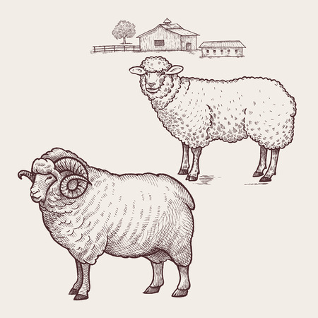 Sheep and ram. Vector.