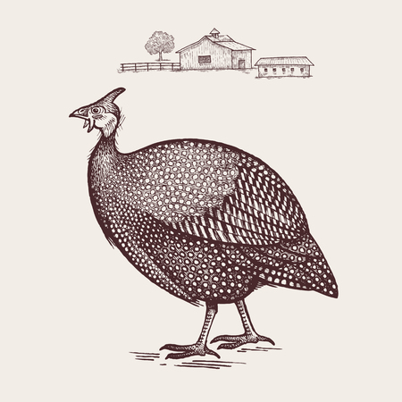Guinea fowl. Vector.