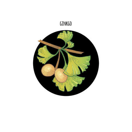 Vector color plant Ginkgo biloba in black circle on white background. Concept of graphic image of medical plants, herbs, flowers, fruits, roots. Design for package of health, beauty natural products.