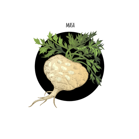 Vector color plant Maca in black circle on white background. The concept of graphic image of medical plants, herbs, flowers, fruits, roots. Design for package of health and beauty natural products. Illustration