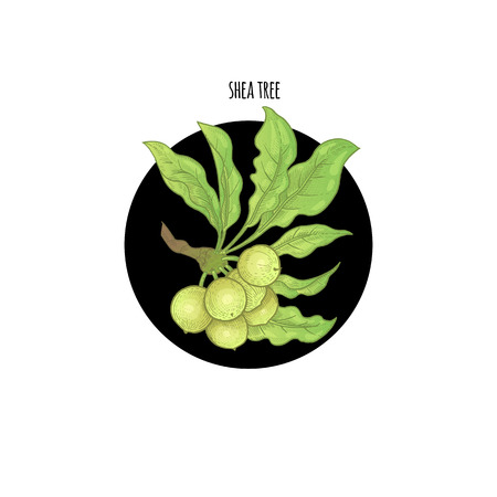 Vector color plant Shea tree in black circle on white background. Concept of graphic image of medical plants, herbs, flowers, fruits, roots. Design for package of health, beauty natural products.