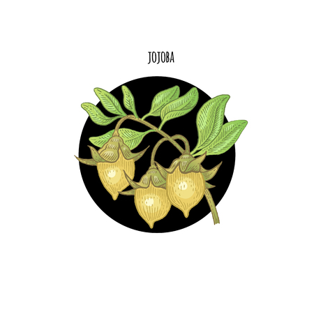 Vector color plant Jojoba in black circle on white background. Concept of graphic image of medical plants, herbs, flowers, fruits, roots. Design for package of health, beauty natural products.