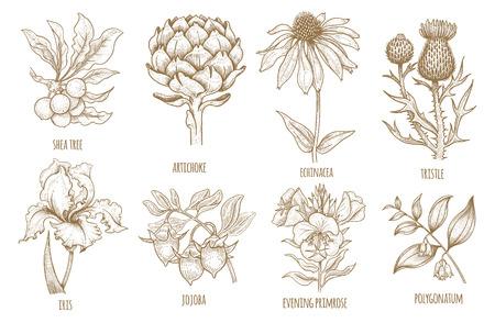 시어 트리, 에키 네시아, 아티 초크, 엉겅퀴, 아이리스 꽃, 호호바, 달맞이꽃, 둥. 의료 허브의 집합입니다. 흰색 배경에 고립 된 그래픽의 그림입니다.
