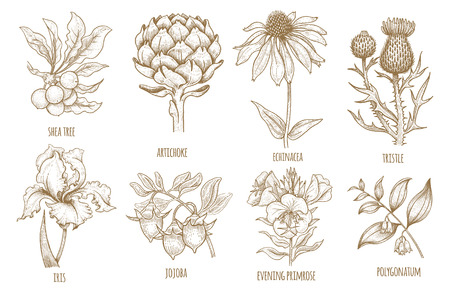 Shea tree, echinacea, artichoke, thistle, iris flower, jojoba, evening primrose, polygonatum. Set of medical herbs. Illustration of graphics isolated on white background.