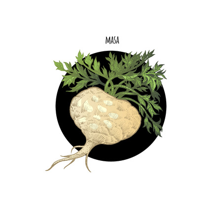maca root: color plant Maca in black circle on white background. The concept of graphic image of medical plants, herbs, flowers, fruits, roots. Design for package of health and beauty natural products.