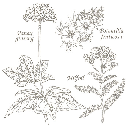 Panax ginseng, potentilla fruticosa, milfoil. Set of illustration of medical herbs. Isolated image on white background.