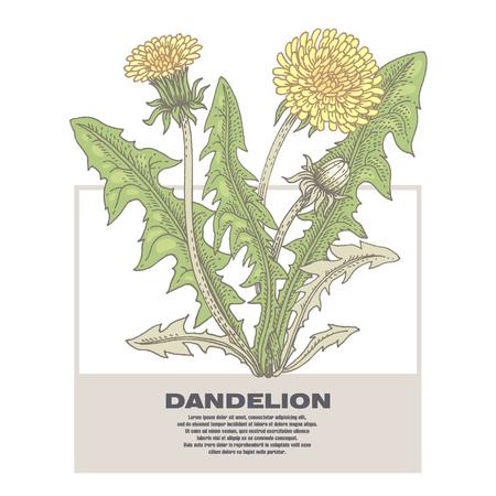 Dandelion. Illustration of medical herbs. Isolated image on white background.