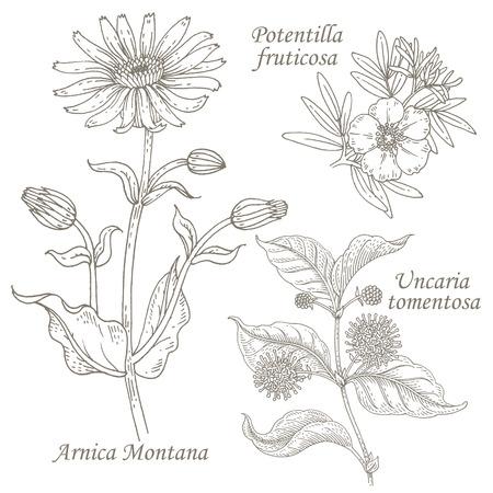 Arnica Montana, potentilla fruticosa, uncaria tomentosa. Set of illustration of medical herbs. Isolated image on white background.