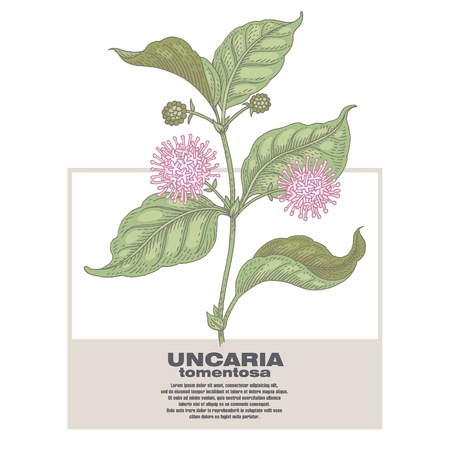 Uncaria tormentosa. Illustration of medical herbs. Isolated image on white background.