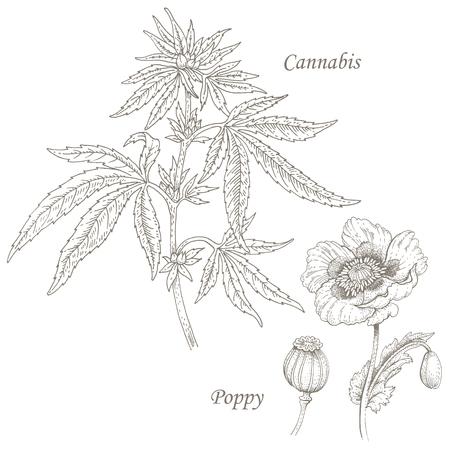 Cannabis, poppy. Set of illustration of medical herbs. Isolated image on white background.
