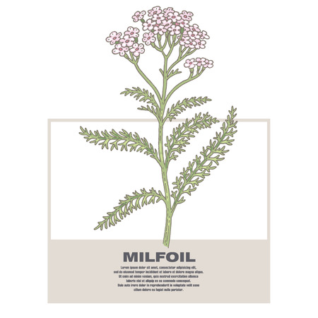 Milfoil. Illustration of medical herbs. Isolated image on white background.
