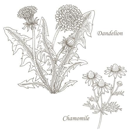 Dandelion, chamomile. Set of illustration of medical herbs. Isolated image on white background.