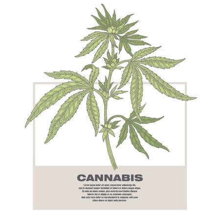 Cannabis. Illustration of medical herbs. Isolated image on white background. Ilustrace