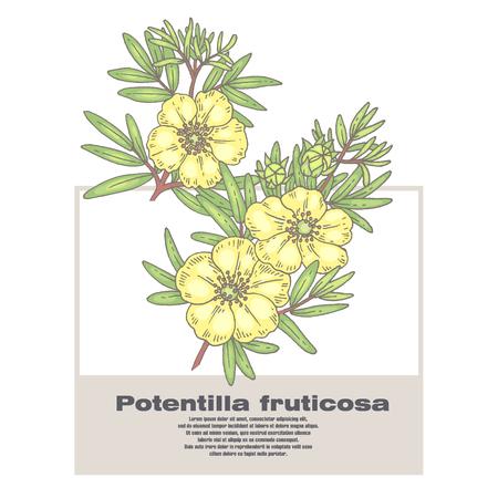 Potentilla fruticosa. Illustration of medical herbs. Isolated image on white background.