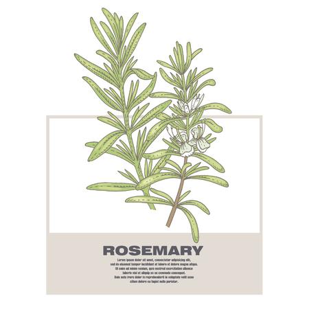 Rosemary. Illustration of medical herbs. Isolated image on white background.