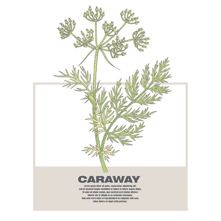 Caraway. Illustration of medical herbs. Isolated image on white background.