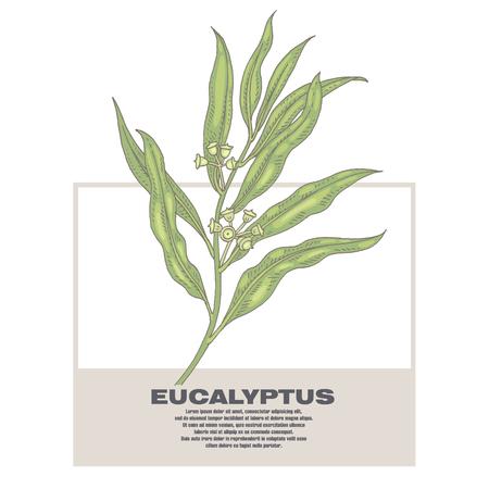 eucalyptus: Eucalyptus. Illustration of medical herbs. Isolated image on white background. Illustration