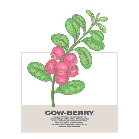 Cow-berry. Illustration of medical herbs. Isolated image on white background.