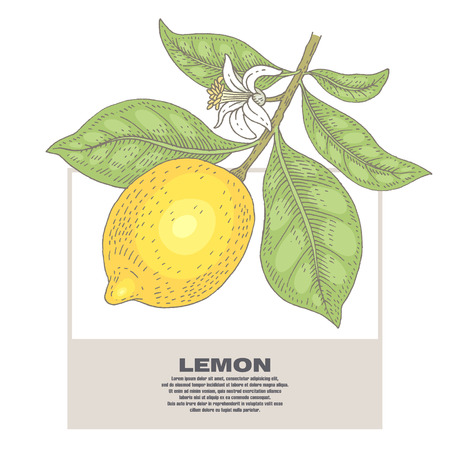 Lemon. Illustration branch plant with fruits and flowers. Isolated image on white background.