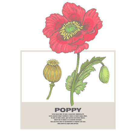 usefulness: Poppy. Illustration of medical herbs. Isolated image on white background.