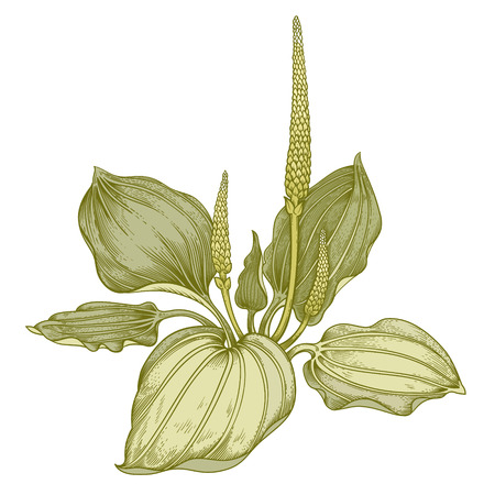 Illustration of medical herbs. Colorful isolated object on a white background.Flower of the plantain. Illustration