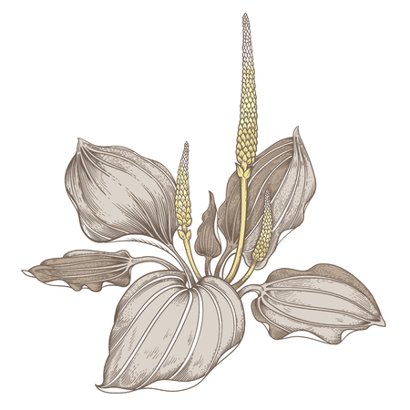 plantain: Illustration of medical herbs. Isolated object on a white background. Flower of the plantain.