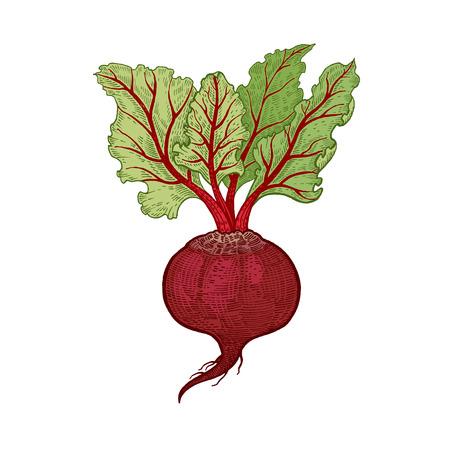 Groenten. Beets. Vector illustratie. Hand tekening kleur op een witte achtergrond. Stockfoto - 67175319