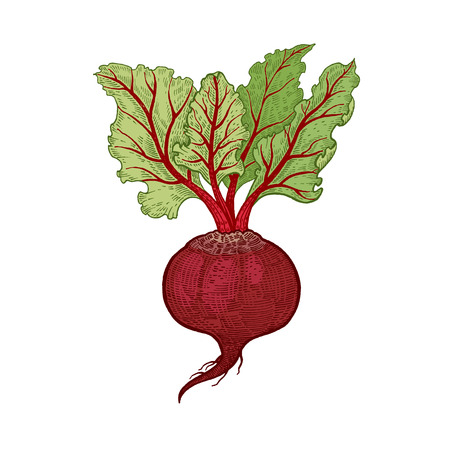 Vegetables. Beets. Vector illustration. Hand drawing color isolated on white background.