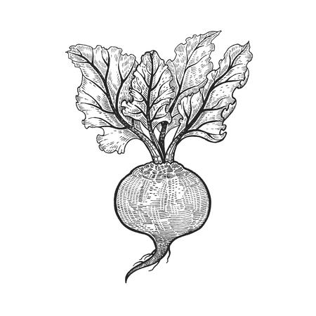 野菜。ビート。ベクトルの図。手書きスタイルのビンテージ彫刻。黒と白。
