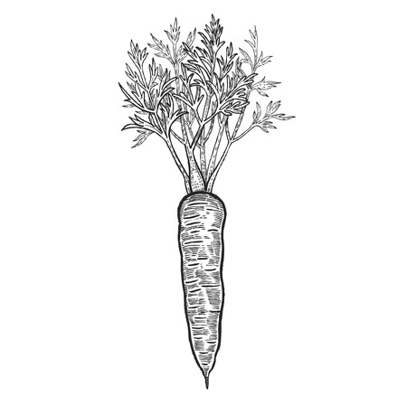 Vegetables. Carrots. Vector illustration. Hand drawing style vintage engraving. Black and white. 矢量图像