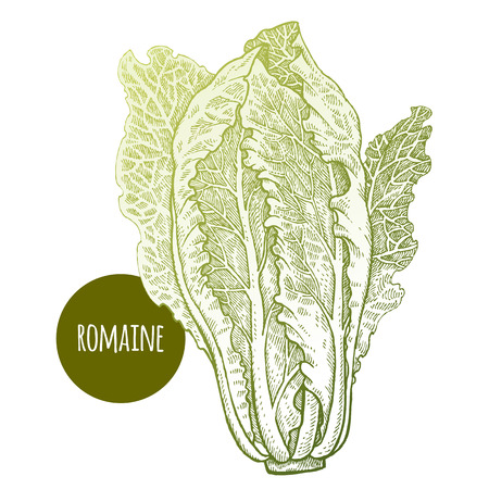 Lettuce romaine. Plant isolated on white background. Vector illustration. Hand drawing style vintage engraving. Greenery for create the menu, recipes, decorating kitchen items. Vintage. Illustration