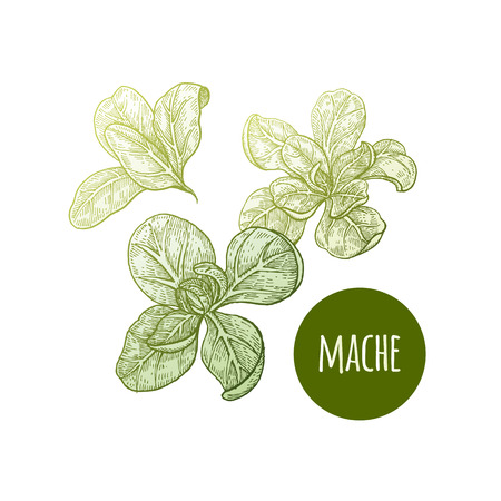 Lettuce mache. Plant isolated on white background. Vector illustration. Hand drawing style vintage engraving. Greenery for create the menu, recipes, decorating kitchen items. Vintage. Illustration