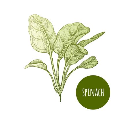 レタスほうれん草。植物は、白い背景で隔離。ベクトルの図。手書きスタイルのビンテージ彫刻。緑は、レシピ、キッチン アイテムを飾るメニュー